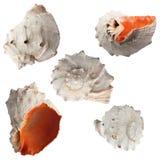 从每个季度的海洋海扇壳种类 库存图片