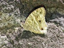 从毛里求斯的鳞翅类 库存照片