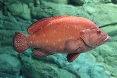 从水族馆的红色明亮的鱼 免版税库存照片