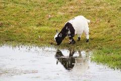 从池塘的家用黑白山羊孩子饮料水 库存照片
