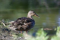从池塘的野鸭饮用水莫尔登公园的,温莎安大略 库存图片