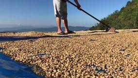 从泰国干燥咖啡豆的人 股票视频