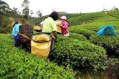 从泰国的妇女中断茶叶 库存图片