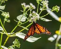 从泽兰属植物的黑脉金斑蝶饮用的花蜜 库存照片