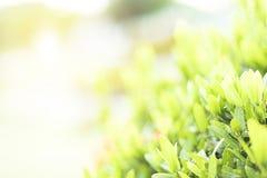 从灌木的绿色叶子在阳光下 库存照片