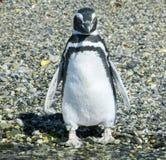 从火地群岛的企鹅 免版税库存照片