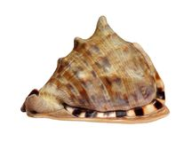 从热带海洋的大壳 免版税库存图片