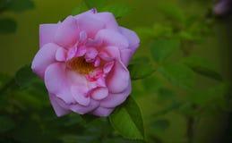 从玫瑰的叶子的水多的绿色的桃红色花 免版税库存照片