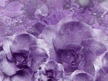从玫瑰的花卉紫罗兰色背景 背景构成旋花植物空白花的郁金香 与水滴的花在瓣 特写镜头 免版税库存图片
