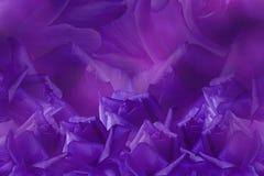 从玫瑰的花卉紫色美好的背景 背景构成旋花植物空白花的郁金香 在紫色背景的紫罗兰色玫瑰 明信片为假日 免版税库存图片