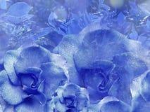 从玫瑰的花卉蓝色背景 背景构成旋花植物空白花的郁金香 与水滴的花在瓣 特写镜头 库存照片