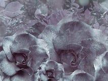 从玫瑰的花卉青紫罗兰色背景 背景构成旋花植物空白花的郁金香 与水滴的花在瓣 特写镜头 库存图片