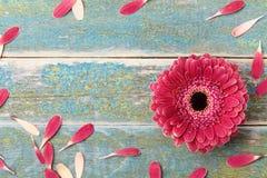 从瓣的大丁草雏菊自然花框架为母亲或妇女天 贺卡概念 Vinatge样式 顶视图 免版税图库摄影
