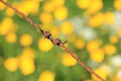 从生锈的铁丝网的特写镜头和与开花的毛茛和母牛荷兰芹的一个领域在春天 免版税图库摄影