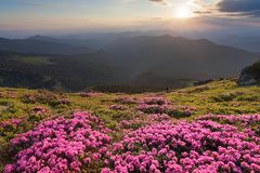 从用奇妙桃红色杜鹃花盖的草坪美丽如画的看法对高山,谷,桃红色天空,日落被打开 图库摄影