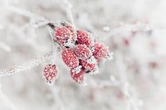 从用树冰或霜盖的红色莓果的自然本底 冬天自然早晨场面  免版税库存图片