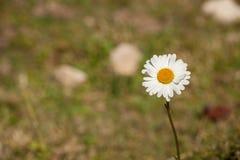 从白云岩的延命菊花-意大利 库存图片