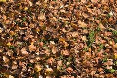 从白杨树的下落的叶子的质地背景 从叶子的秋天地毯 白杨树的被转动的黄色秋天干燥叶子 免版税库存图片