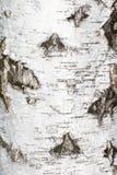 从白桦树皮的背景 库存图片