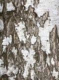 从白桦树皮的背景 免版税库存照片