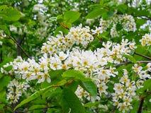 从白色丁香的可爱的白花 免版税库存图片