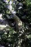 从科莫多岛的监控蜥蜴 免版税库存图片