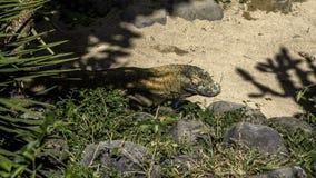 从科莫多岛的监控蜥蜴 图库摄影