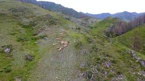 从空气的一个看法到小山、牧羊人和吃草在倾斜的绵羊牧群  共和国阿尔泰,俄罗斯 股票视频