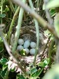 从等待他们的巢的卵形强的壳的鸡蛋母亲 免版税库存图片