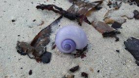 从紫色夏恩蜗牛的紫色壳在酸值苏梅岛海岛,泰国上的沙子海滩 库存图片