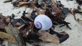 从紫色海洋蜗牛的紫色壳在日出期间的沙子海滩在酸值苏梅岛海岛,泰国上 库存照片