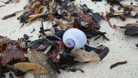 从紫色海洋蜗牛的紫色壳在日出期间的沙子海滩在酸值苏梅岛海岛,泰国上 免版税图库摄影