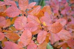 从红橙色叶子的背景有从雨的湿气的在t 免版税库存图片