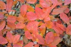 从红橙色叶子的背景 库存图片