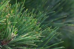 从绿色杉木的自然本底 云杉的分支关闭 圣诞节背景 库存照片