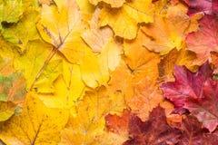 从绿色的秋叶在对橙色和红色的黄色作为backgr 图库摄影