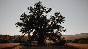 从罗马尼亚的最旧的树在与山的夏天白天夺取了在背景中 免版税库存照片