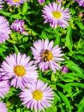 从翠菊花的蜜蜂饲养 免版税库存图片