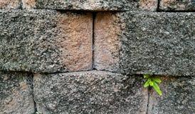 从肮脏的砖墙的新的生长植物芽作为新的希望 库存照片
