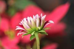 从自然世界红色背景的莲花 免版税库存照片