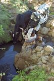从自然井的埃赛俄比亚的妇女取指令水 免版税库存照片