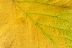从自然植物学季节性纹理的宏观黄色叶子射击 免版税库存照片