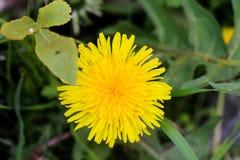 从自然的小黄色礼物 库存照片
