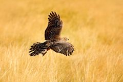 从自然的野生生物场面 在木头的动物 飞行鸷苍鹰,鹰类gentilis,与的黄色夏天草甸 库存照片