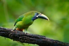 从自然的野生生物场面 异乎寻常的鸟,热带森林小toucan 青红喉刺莺的Toucanet, Aulacorhynchus prasinus,绿色touca 库存图片