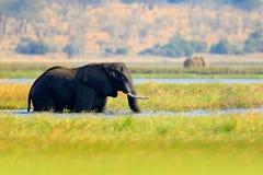 从自然的野生生物场面 有大动物的湖 水草在大河 喝在waterhole l的非洲大象牧群  图库摄影