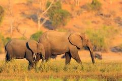 从自然的野生生物场面 有大动物的湖 水草在大河 喝在waterhole l的非洲大象牧群  免版税库存图片