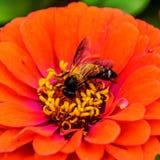 从花的花蜜 库存照片