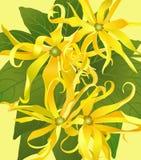 从花ylang ylang的背景 免版税库存照片