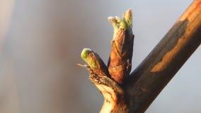 从芽的出生叶子在莓分支 影视素材